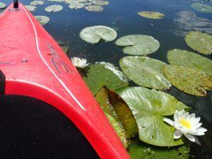 lilie wodne widziane z kajaka