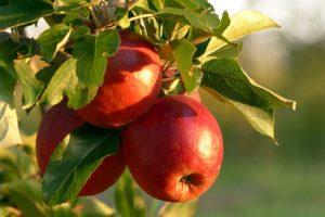 Piękne owoce są efektem zdrowego drzewa